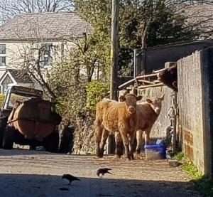 Calves - social distancing?