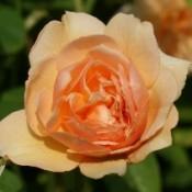 1906-rose